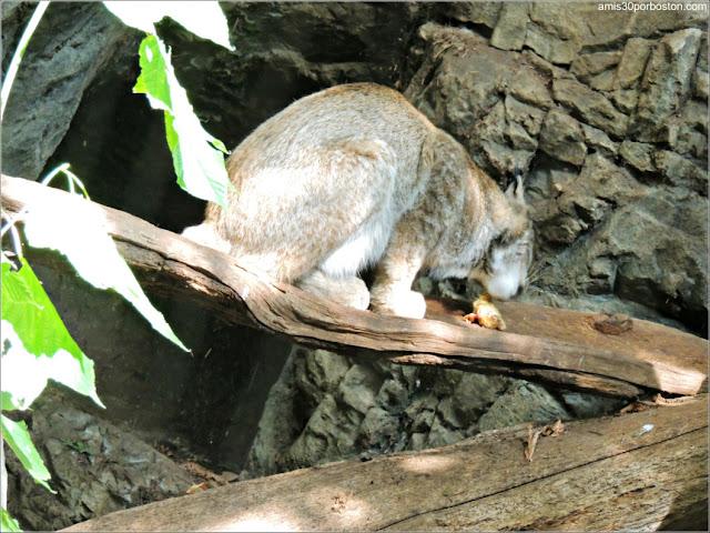 Bosque de Arce Laurentino del Biodôme: Lince Canadiense
