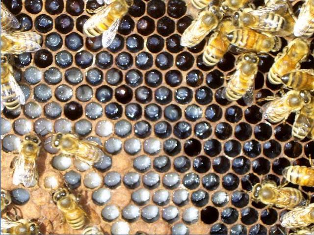 Ερώτηση μελισσοκόμου: Στις πλαστικές κυψέλες βάζουμε κηρόπανο; Φελιζόλ στο καπάκι βάζουμε όταν εχει κρύο καιρό;