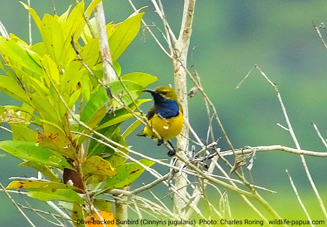 Olive-backed Sunbird in the forest near Sorong city.