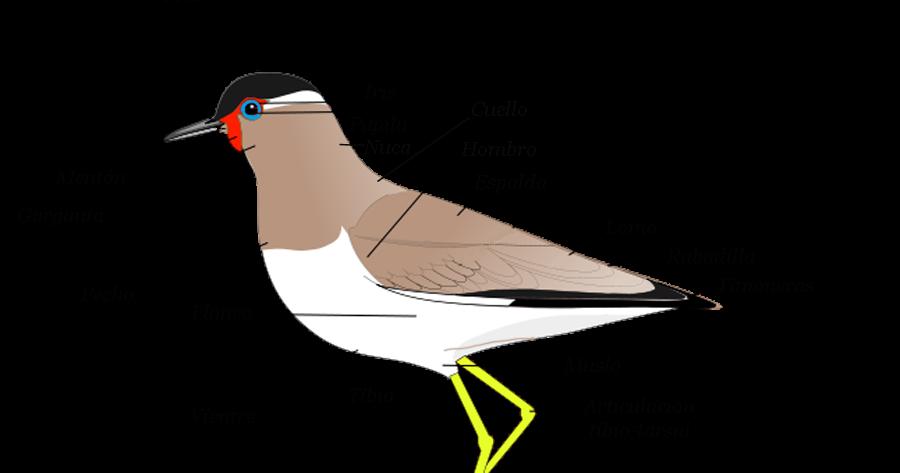 Aves Bonaerenses: Anatomía de un ave