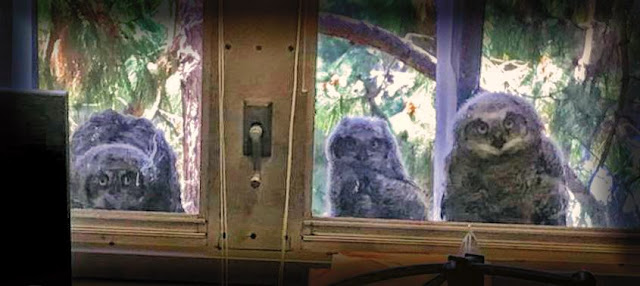 owls at the window