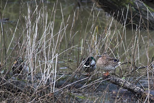 Female Mallard quacking
