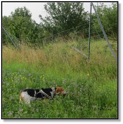 Hund sucht eine Spur