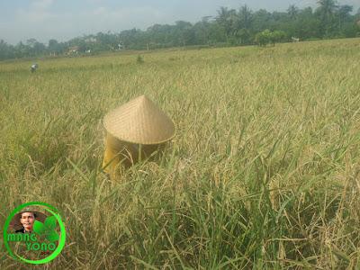 Memanen padi dengan diarit
