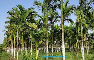 manfaat pohon pinang