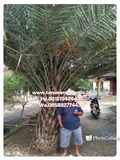 Palm korma buah