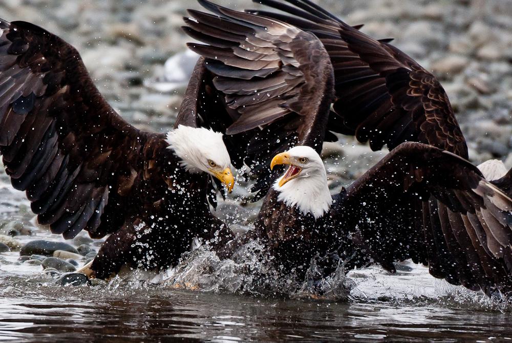 White wolf once endangered bald eagles now soaring in - Bold habitat ...