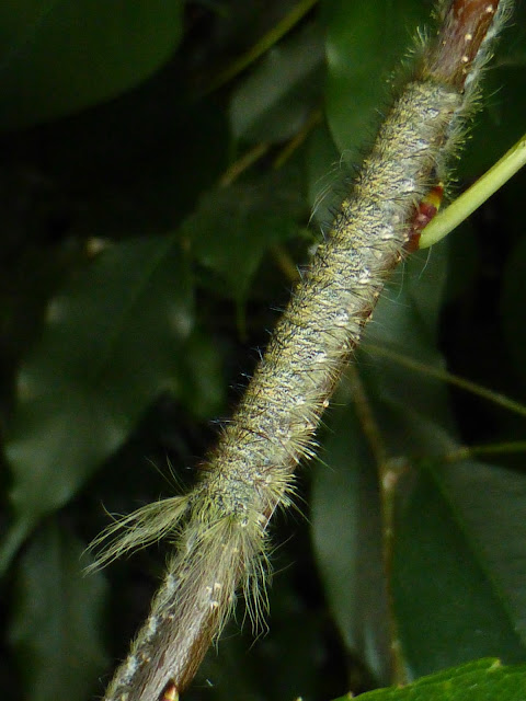 Gonometa nysa caterpillar