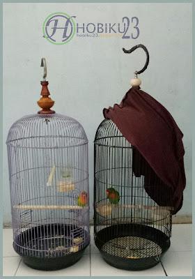 kali ini kami akan mengulas cara mempoligami burung lovebrid Cara Poligami Love Brid Jantan 1 Betina 3