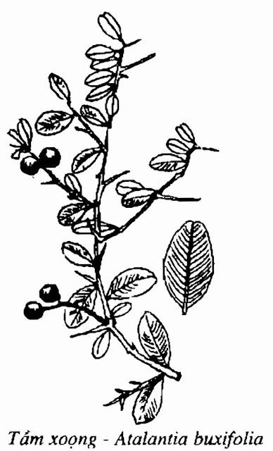 Hình vẽ GAI TẦM XOỌNG - Atalantia buxifolia - Nguyên liệu làm thuốc Chữa Ho Hen