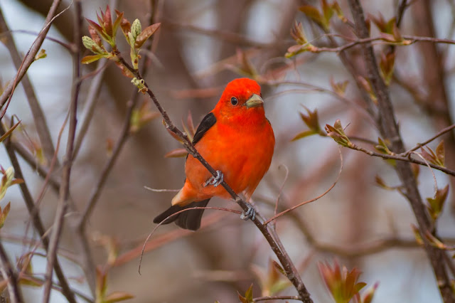 Scarlet Tanagers are common at Point Pelee National Park
