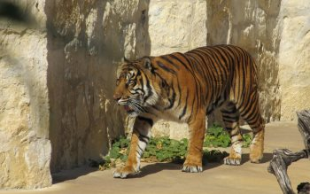Wallpaper: Sumatran tiger