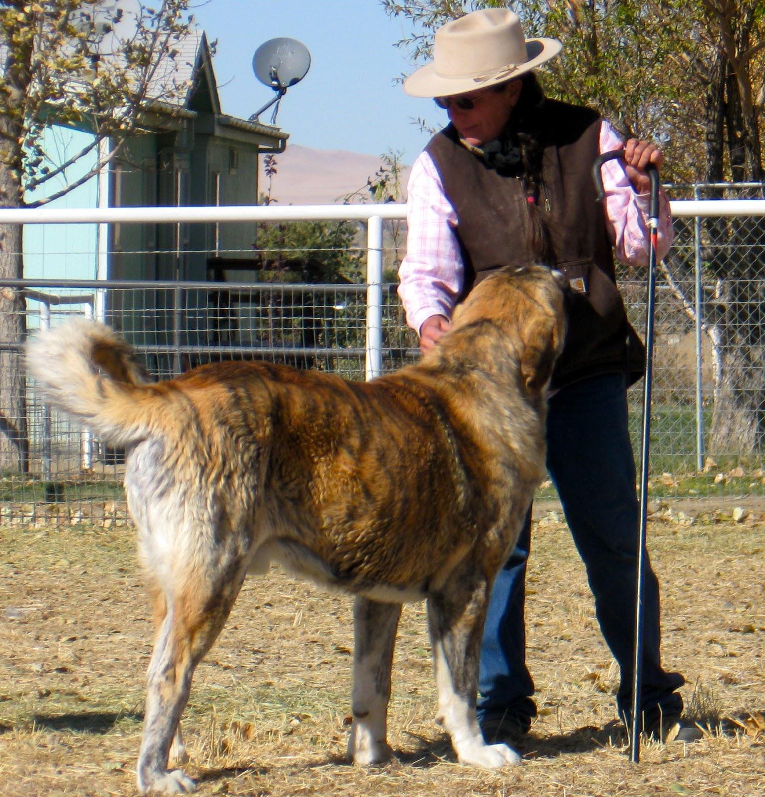 the spanish mastiff livestock guardian dog april 2017