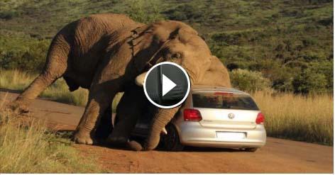 شاهد بالفيديو فيل يسحق سيارة بداخلها مجموعة من السائحين