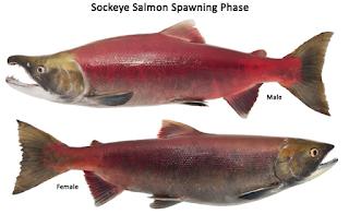 Sockeye (Red) Salmon - Jenis Jenis Ikan Salmon