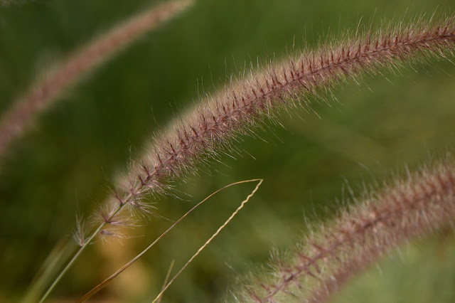 pennisetum, rubrum, Tuesday View, small sunny garden, amy myers, desert garden, July, summer