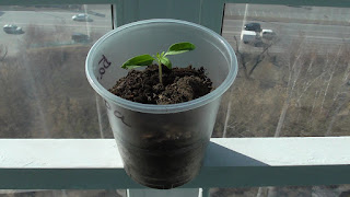 Детерминантные помидоры через две недели после посева