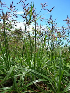 Hasil gambar untuk rumput teki