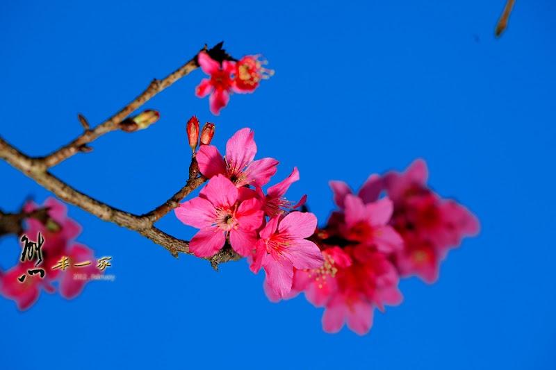 三峽櫻花季