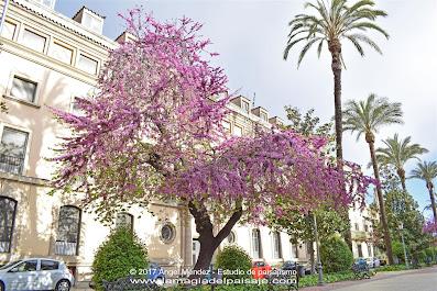 Árbol del Amor, Cercis siliquastrum, Árbol de Judas, árboles de flor