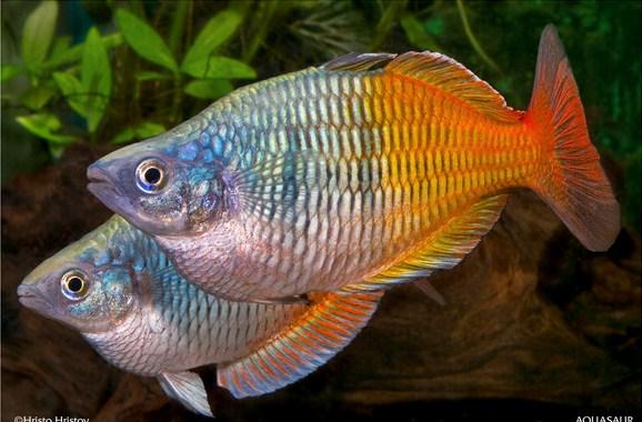 jenis ikan rainbow Aquarium