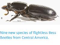 http://sciencythoughts.blogspot.co.uk/2014/12/nine-new-species-of-flightless-bess.html