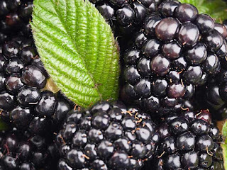 black mulberry fruit images