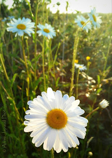 daisies in the perfect morning light