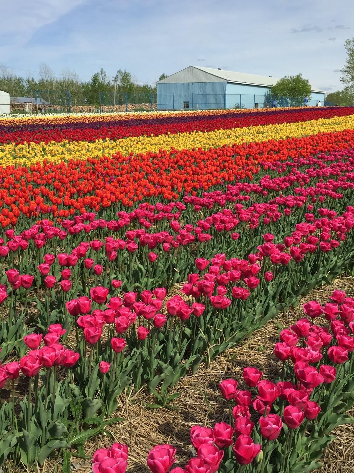 Tulipanes para todos!