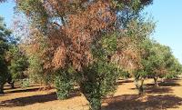 Εμφάνιση νέων κρουσμάτων από το βακτήριο Xylella fastidiosa σε ελαιόδενδρα