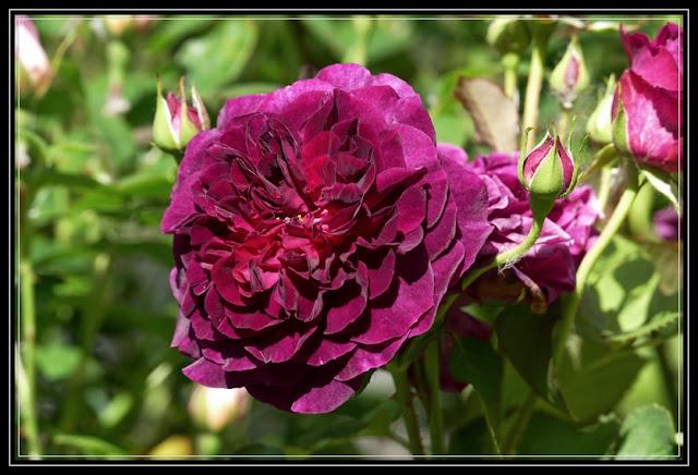 David Austin Roses at Rosewood Gardens