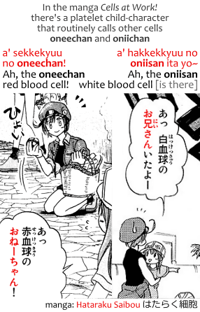 In the manga Cells at Work!, Hataraku Saibou はたらく細胞, there's a platelet child-character  that routinely calls other cells oneechan and oniichan. Transcript: a' sekkekyuu no oneechan! あっ 赤血球のおねーちゃん! Ah, the oneechan red blood cell! a' hakkekkyuu no oniisan ita yo~ あっ 白血球のお兄さんいたよー Ah, the oniisan white blood cell [is there].