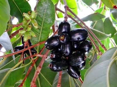 Benefits of Jamun