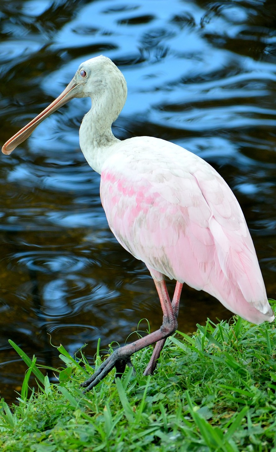 Picture of a graceful spoonbill.