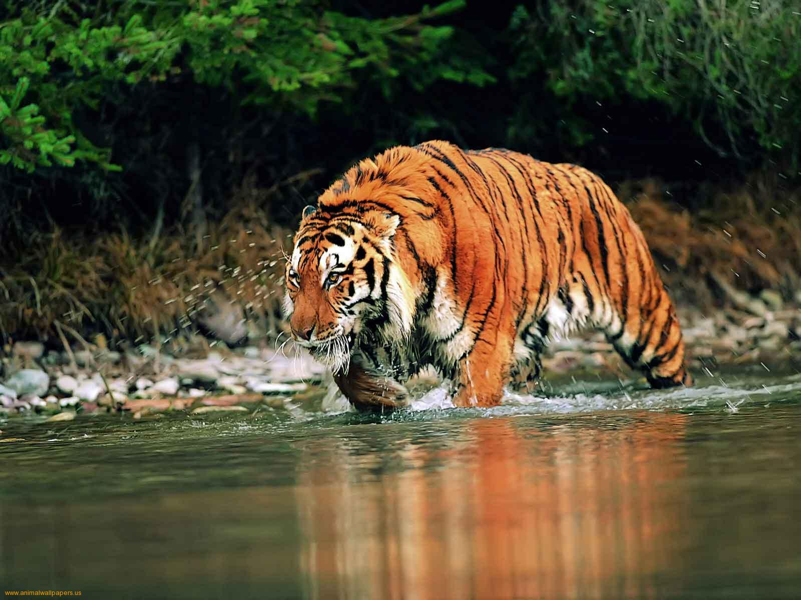 Bengal Tiger Wallpapers  Animals Library
