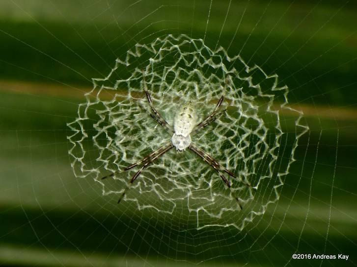 Elgrannino.net: ¡ESTO ES LO ÚLTIMO! Araña aprende a tejer en zig-zag ...