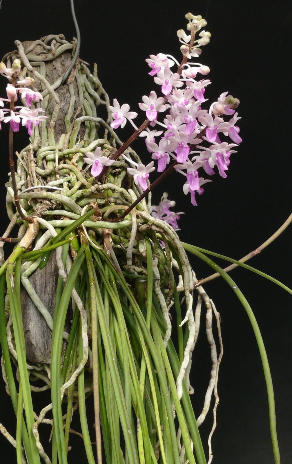 Hoa Phong Lan ViỆt Vietnam Orchids Seidenfadenia Mitrata