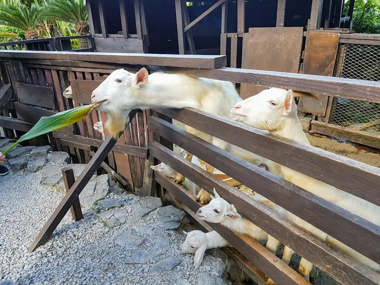園內山羊感覺餓
