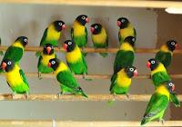 Jenis-Jenis Lovebird di Indonesia - Si Cantik Lovebird
