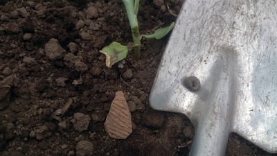 移植ゴテの上に丸まったヨトウムシがいます