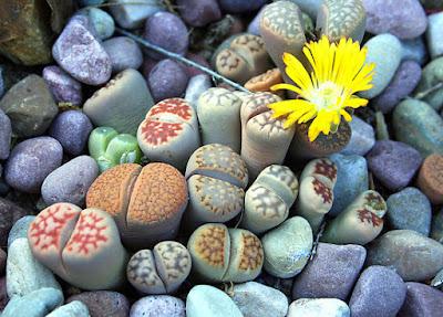 Pedras Vivas ou Plantas Pedra - Trata-se de uma planta suculenta anã quase sem caule, já que esse, curtíssimo, encontra-se abaixo da superfície da terra.  Cada par de folhas forma o corpo de uma planta, que tem uma forma cônica invertida. Da fissura ou fenda entre as duas folhas brotam as novas folhas, enquanto as velhas se abrem e murcham.