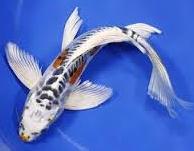 Jenis Ikan Hias Air Tawar Kumpai