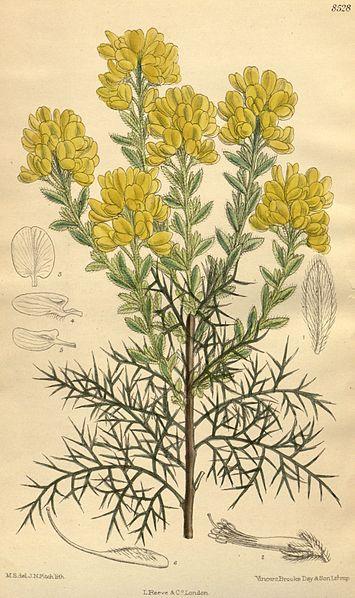 Planta de Aliaga negral Genista hispanica