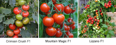 Blight resistant tomato varieties