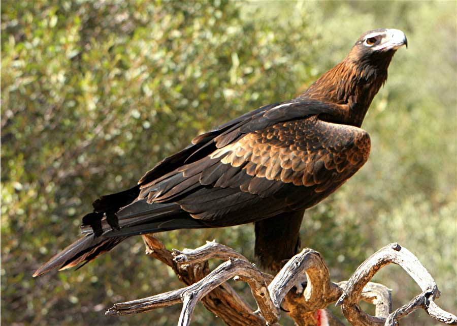 Adam Barralet S Bloody Good Things To Know Animal Of The Week Wedge Tailed Eagle