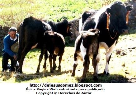 Foto ordeñando a vacas con sus terneros en Santa Cruz de Andamarca. Foto de vacas de Jesus Gómez