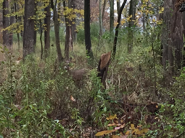A deer hiding in the brush at The Grove