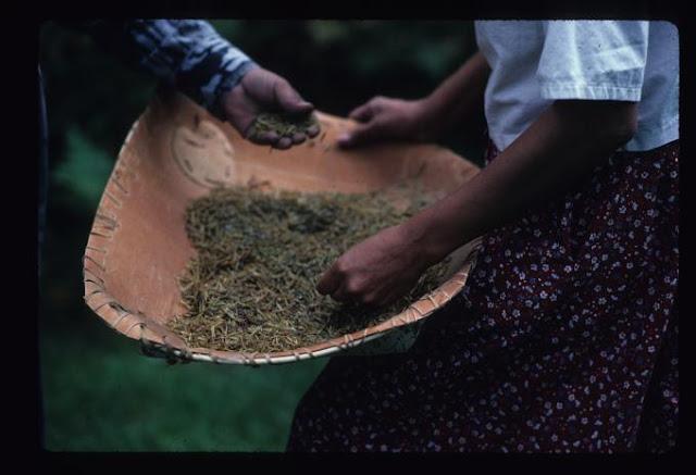 Manoomin wild rice Ojibwe nooshkaachinaagan