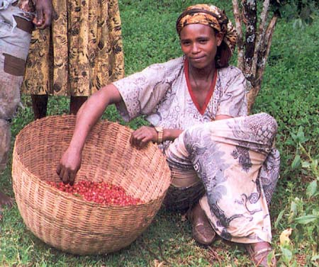 Collecting coffee berries in Ethiopia