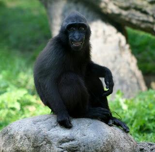 Kera Hitam Sulawesi Hewan Langka Di Indonesia dan Penjelasannya